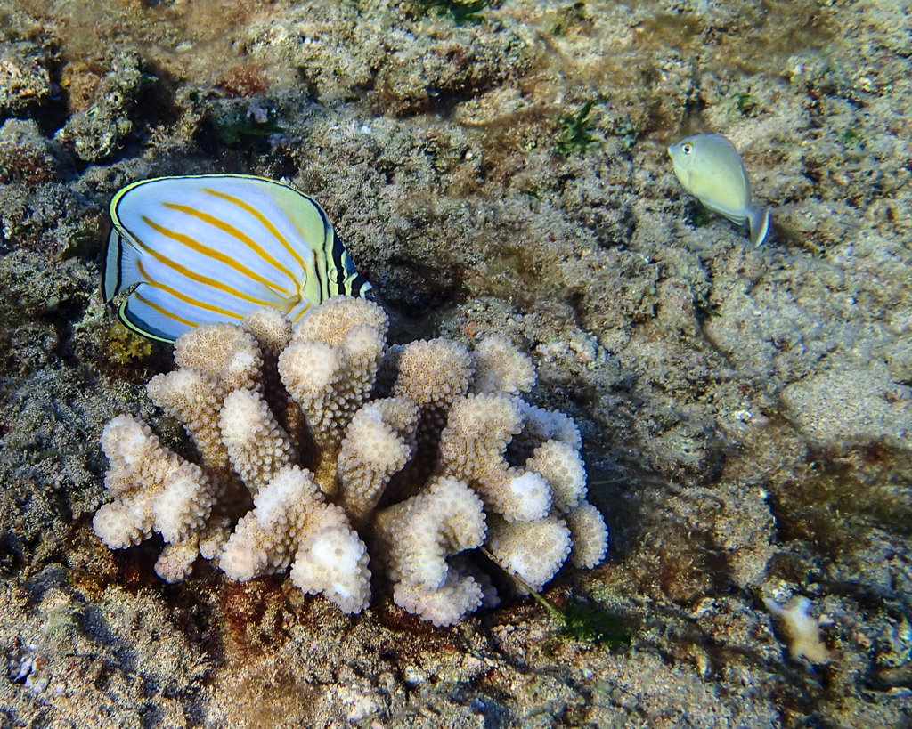 http://thedigitalstory.com/2014/07/15/ornate-butterfly-fish.jpg