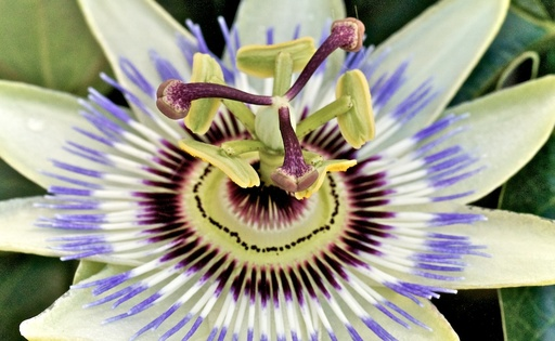 passion_flower_ring_light.jpg