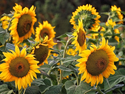 Sunflowers_2048_ P8013148.jpg