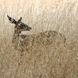 doe-in-grass.jpg