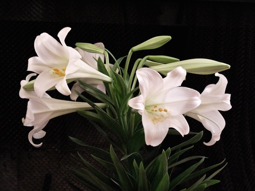 Original Easter Lilies