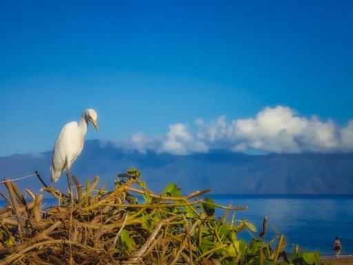 egret-maui.jpg